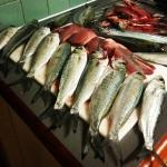 #herring #rottnest #awesome