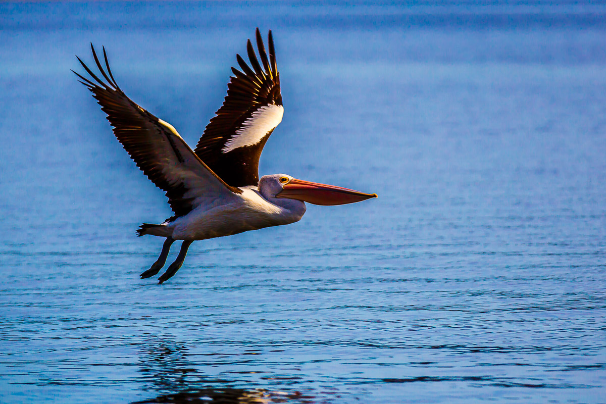 An Australian Pelican Taking Off