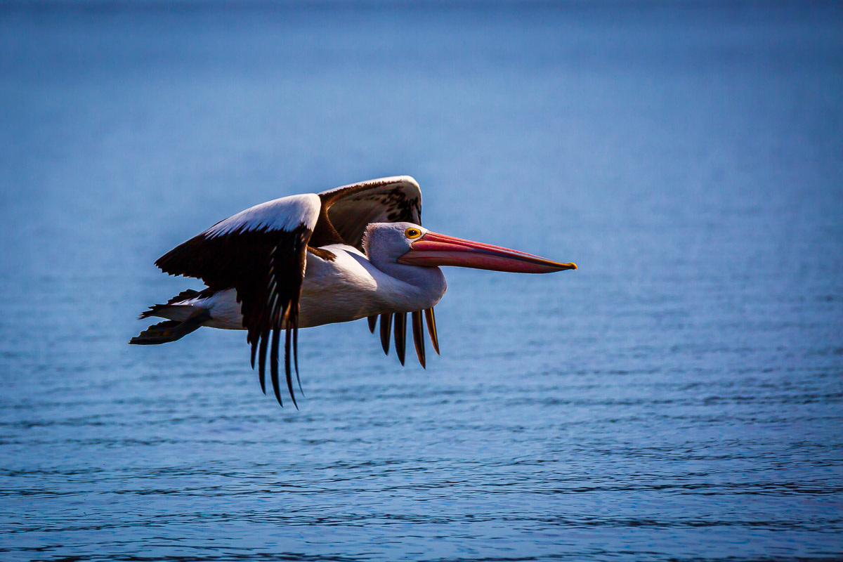 An Australian Pelican in Flight